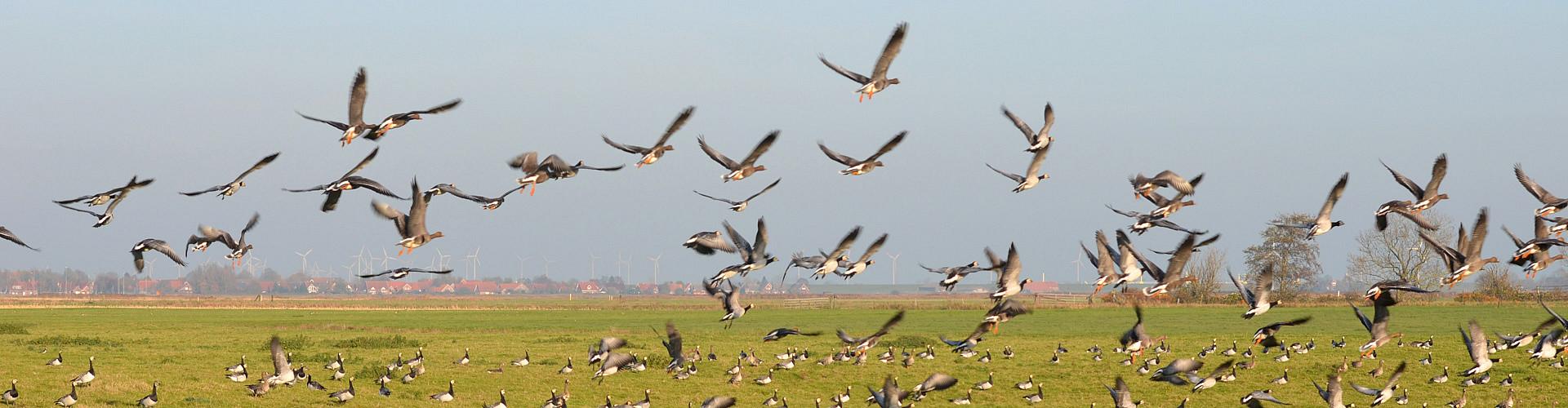 Jährlich locken die Zugvogeltage nach Ostfriesland.