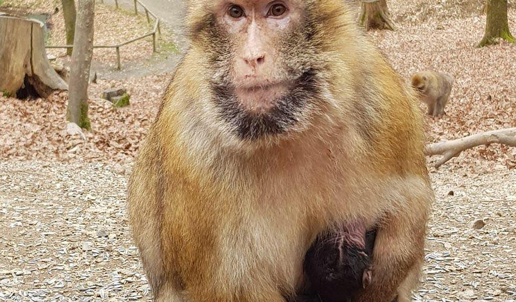Affe im Wild- und Erlebnispark Daun