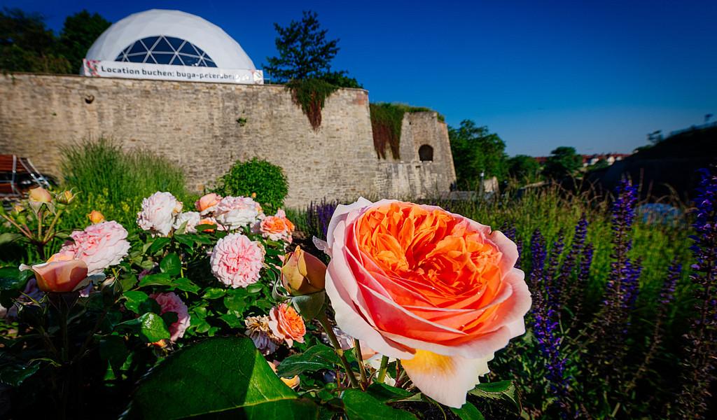 Rosen im Festungsgraben der Zitadelle Petersberg auf der BUGA 2021.